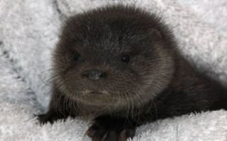 Orphaned otter cub rescued by Scottish animal charity