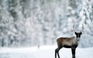 Antler tags to stop reindeer getting hit by cars