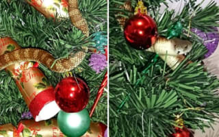 Woman finds dangerous snake hiding in Christmas tree