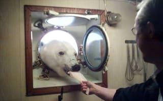 Polar bear gets afternoon tea on Arctic ship