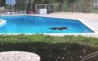 Bear swims laps in family pool