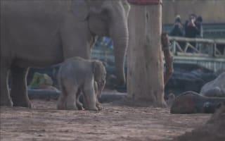 Chester Zoo celebrates birth of rare Asian elephant