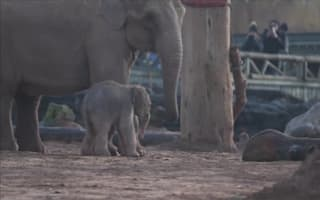 Chester Zoo celebrates birth of rare Asian elephant
