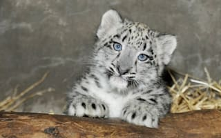 Two cutes: Zoos celebrate births of rhino and snow leopard