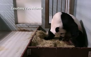 Panda twins born at Zoo Atlanta
