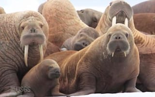 Tourist and trainer die after walrus 'hug'