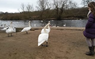 Mystery as 20 swans die in same stretch of UK river