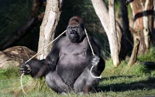 Escaped zoo gorilla drank five litres of undiluted squash