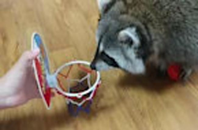 Pet raccoon slam dunks basketball in hoop