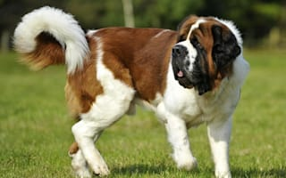 British woman rescues St Bernard dog from Cyprus