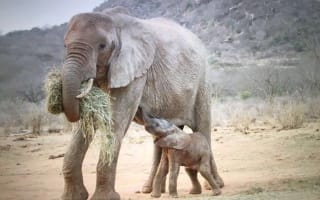 Elephant brings baby calf to sanctuary that rescued her