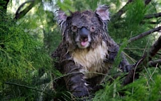 Paw thing: Cute koala gets surprise soaking by garden sprinkler