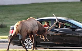 Horny elks attack tourists' cars during mating season at Yellowstone National Park