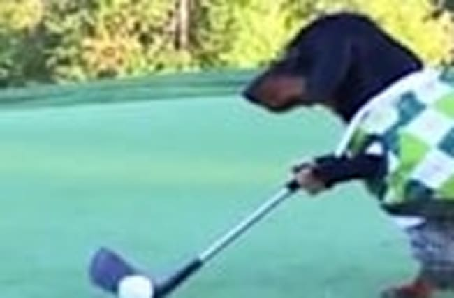 Watch Adorable Dachshunds Play Golf
