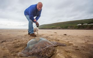 Invasion of giant jellyfish? Huge creature washes up in Devon