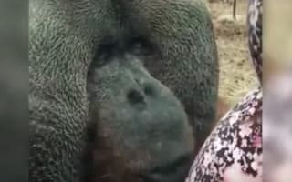 Beautiful orangutan likes to kiss baby bumps
