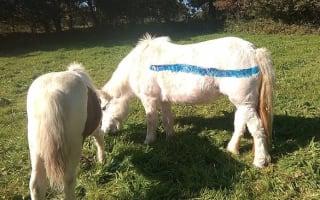 Dartmoor ponies to be painted blue in bid to cut road deaths