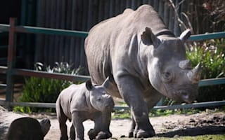Western Black Rhino of Africa declared extinct as new Red List revealed