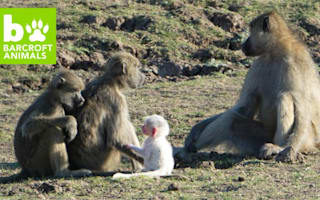 White baby baboon stands out from the crowd