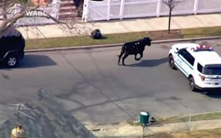 Chaos as bull escapes in New York