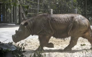 Rare Sumatran rhino dies soon after being discovered in Borneo