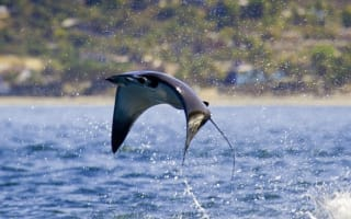 'Flying' mobula rays caught on camera in amazing pictures