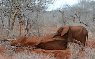Baby elephant risks life to protect dying mother