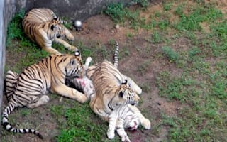 Horror as tourists find three tigers eating a fourth at zoo