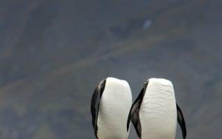 Preening penguins 'lose their heads' in South Georgia