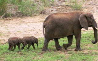 Incredibly rare (and cute) baby elephant twins born in South Africa