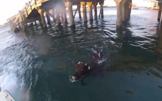 Cow escapes ship and jumps into sea