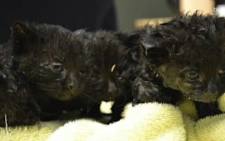 Helpless kittens rescued from glue rat trap