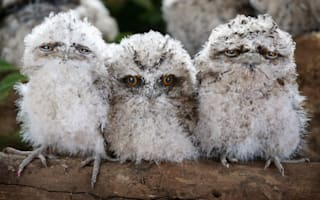 Tawny frogmouth chicks perfect their evil stares