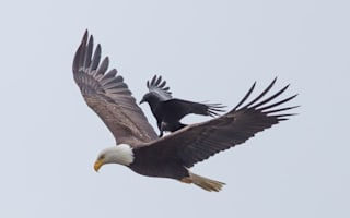 Crow takes a ride on eagle's back (photo)