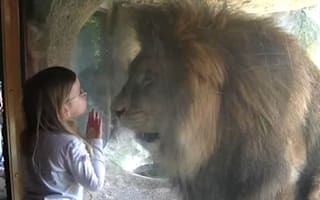 Video: Girl, three, has a facedown with angry lion