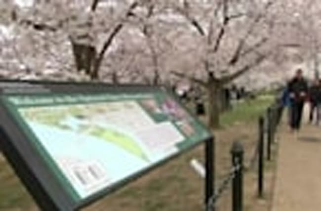 D.C. tourists happy cherry blossoms survived cold snap