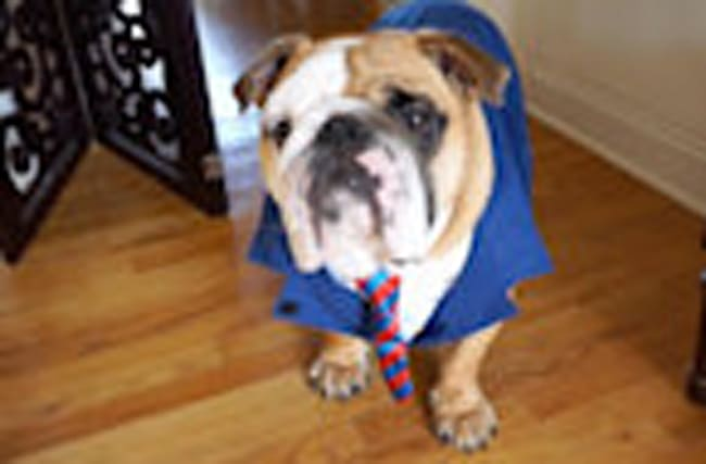 English Bulldog creates online dating profile