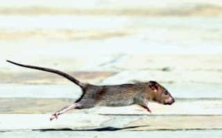 Woman drops trousers on Subway train after giant rat runs up leg