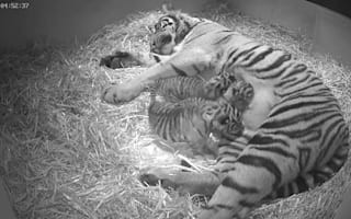 Tiger cubs born at London Zoo (pictures and video)