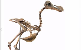 Guess how much this dodo skeleton is worth