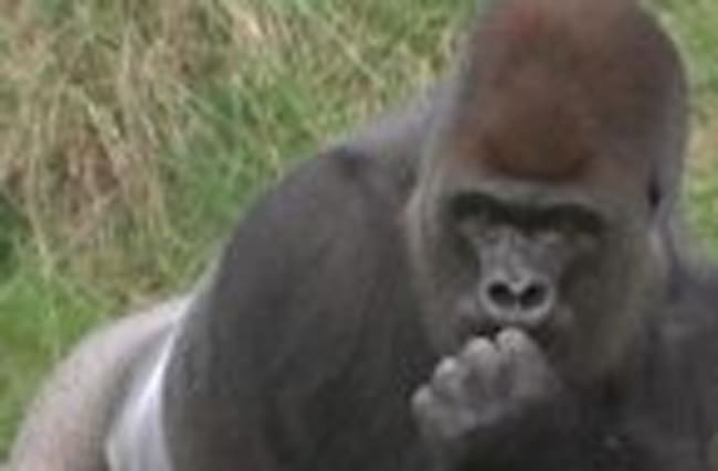 Escaped gorilla downs 5-litres of undiluted fruit squash