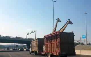 Giraffe dies after 'hitting head on bridge' on South Africa motorway