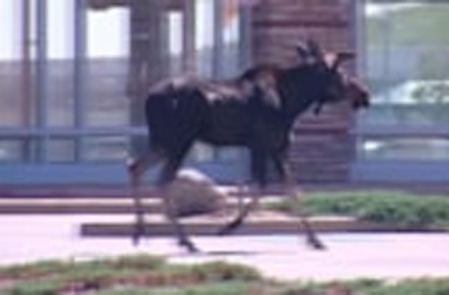 A moose on the loose in Colorado