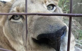 Rescued lion and tiger are best friends