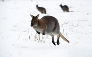 Escaped wallaby causes mayhem on rail network