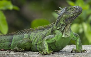 Tourist stopped at airport for returning from holiday with iguana bag