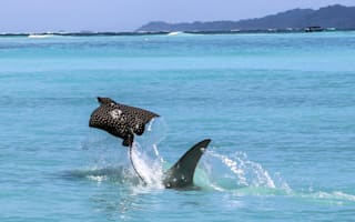 Eagle ray leaps into the air to escape hammerhead shark