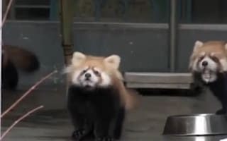 Video: What gives this baby red panda the shock of its life?
