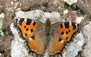 2015 will be a good year for butterflies in Britain