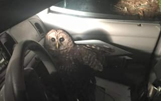 Police officer abandons car after being attacked by owl (picture)